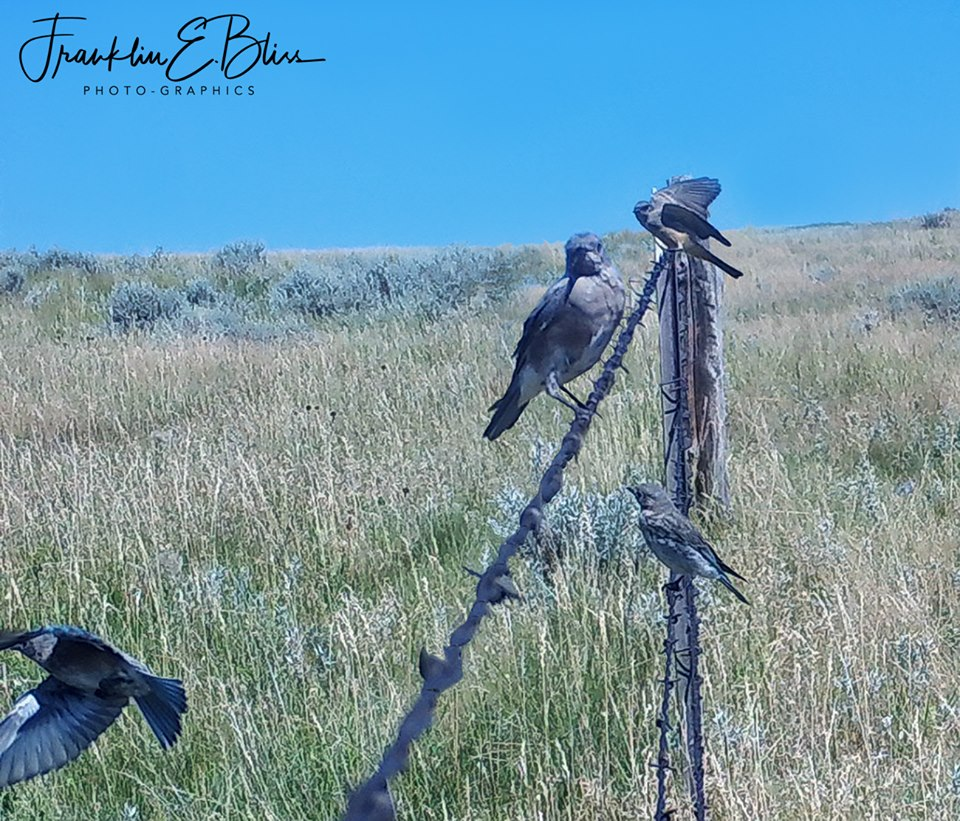 Rocky Mountain Blue Birds