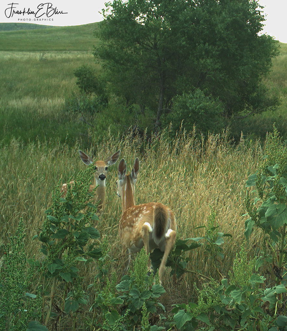 Two Fawns Play Date in the Backcountry