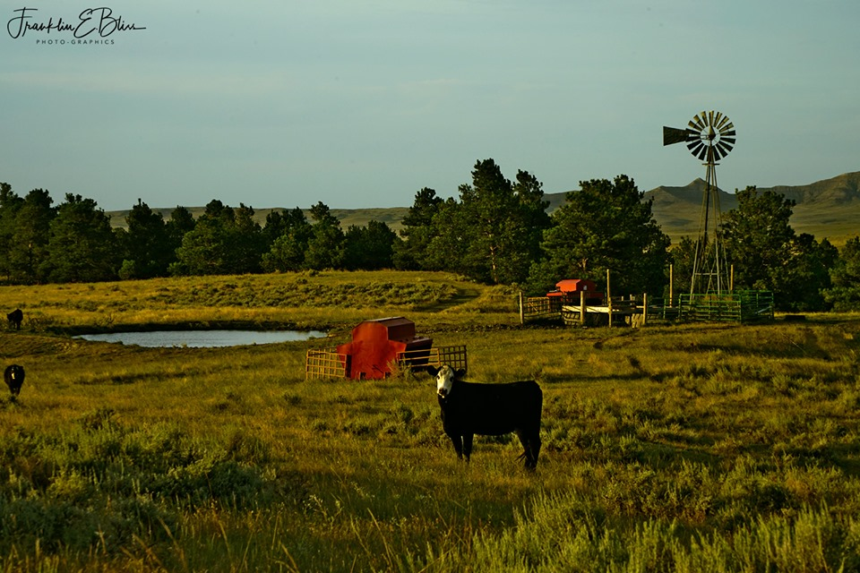 Happy Wyoming Cattle Evening