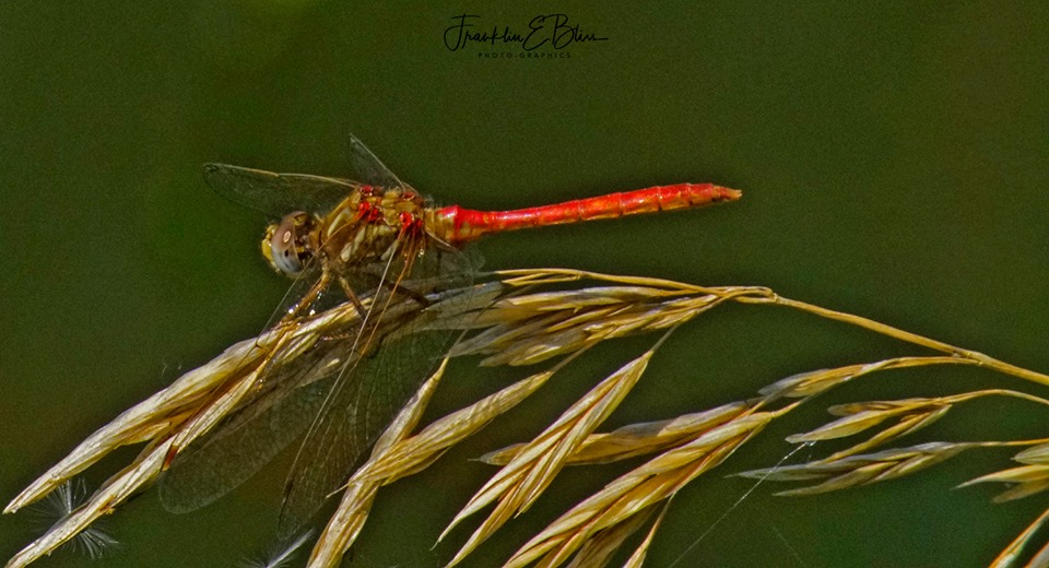 Red Dragonfly Landed on This Grass