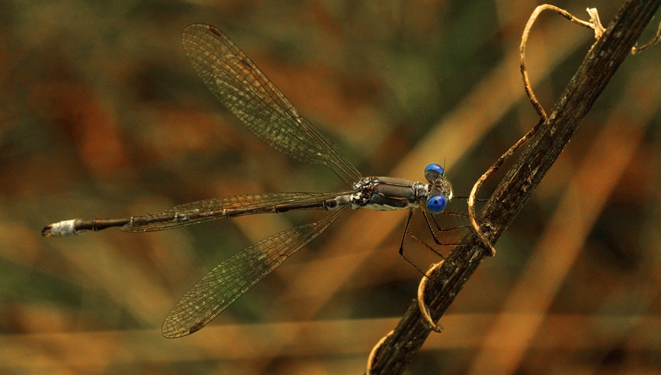 Blue Eyed Dragonfly on a Stick