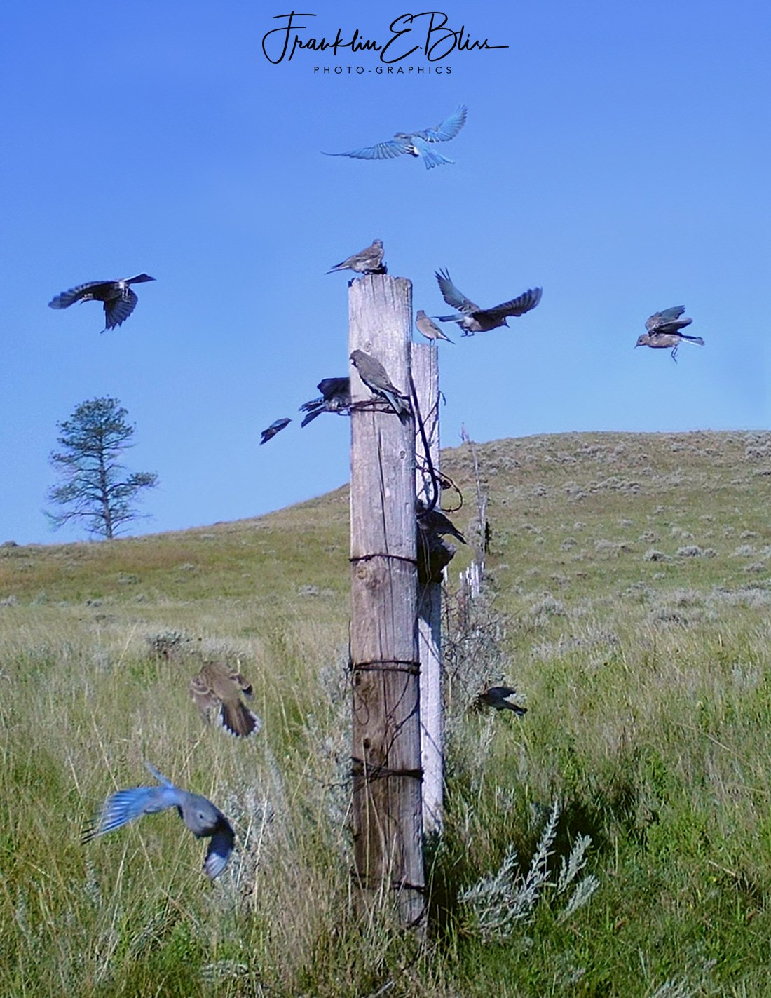 Rocky Mountain Blue Birds Flocking Up