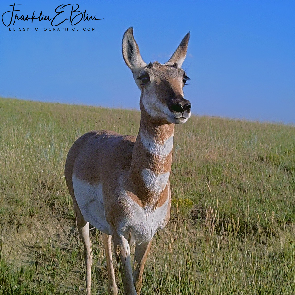 Pronghorn Doe Considering to Run or Not