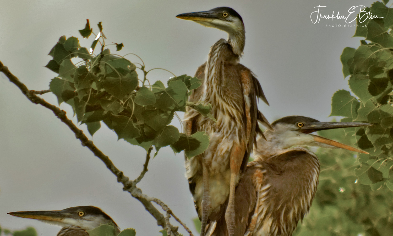 3 Great Blue Heron Fledglings 50 Feet Up a Cottonwood Tree