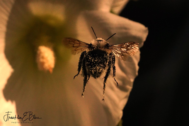 Bumble Bee Frozen in Flight