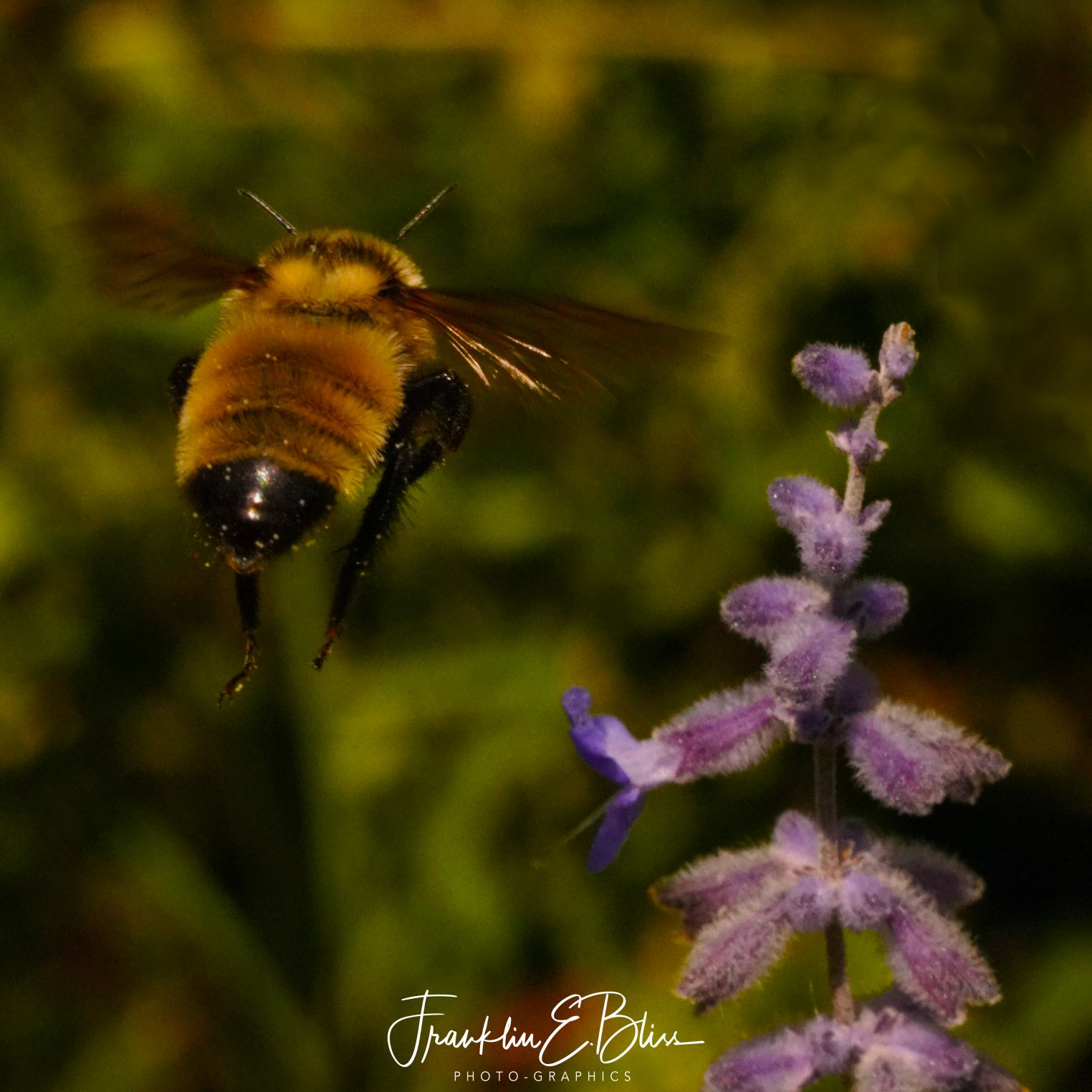 Flying Bumble Bee Shopping for Russian Sage Pollen