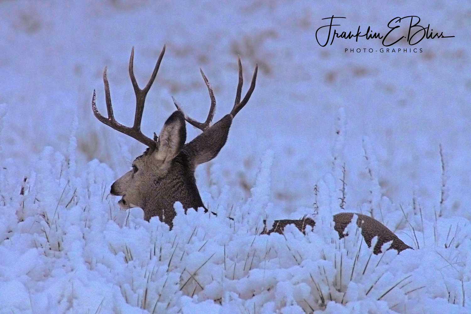 Buck Bedding in the Snow