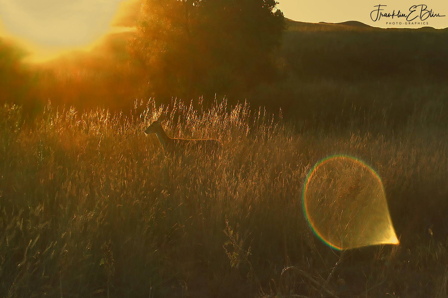 Doe Bathed in Golden Light Moving Through High Grass
