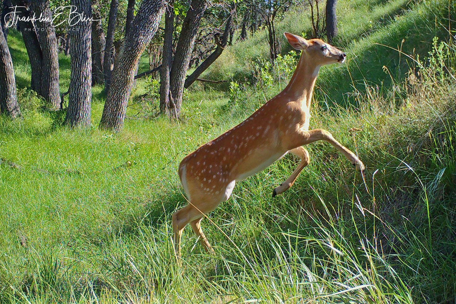 Fawn Running Up a Steep Hill