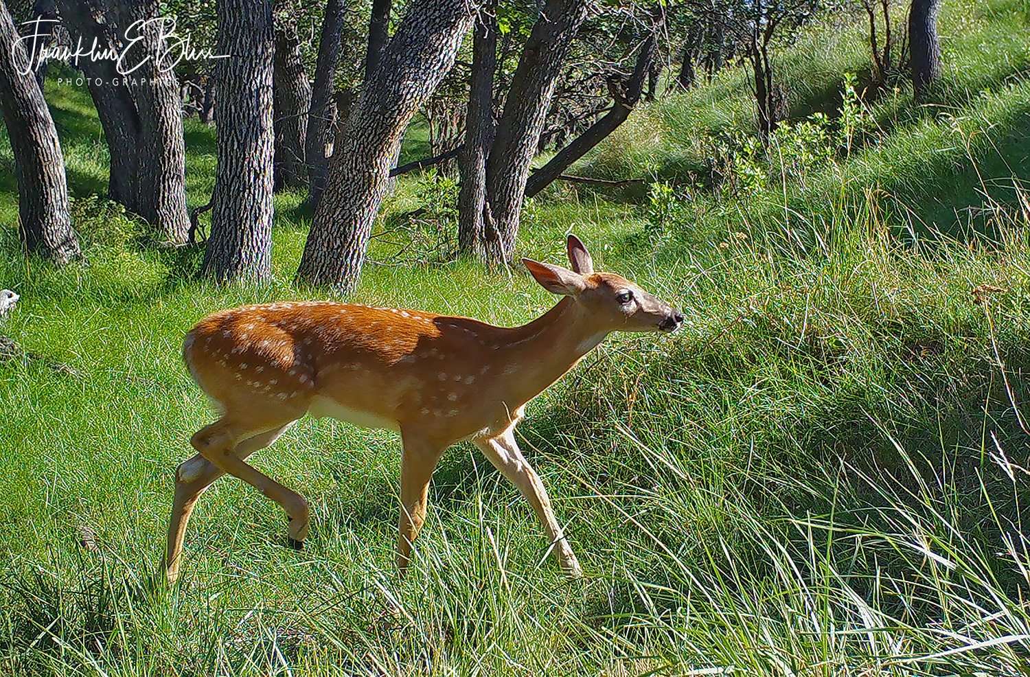 Whitetail Fawn Walking in the Wash