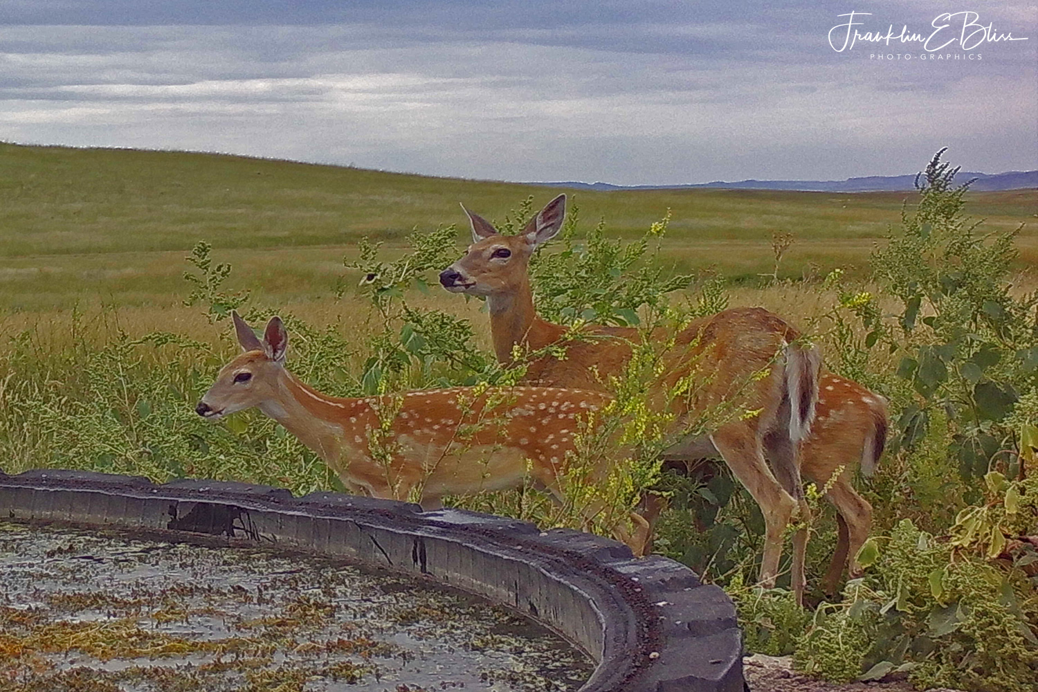 Whitetail Deer Doe and Twins at a Ranch Water Hole