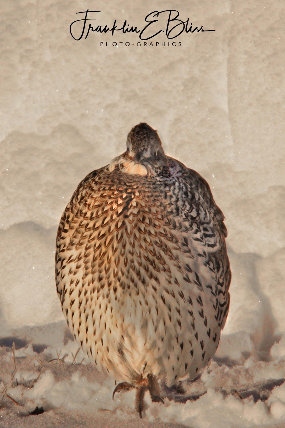 Sharp Tailed Grouse at -20 degrees F.