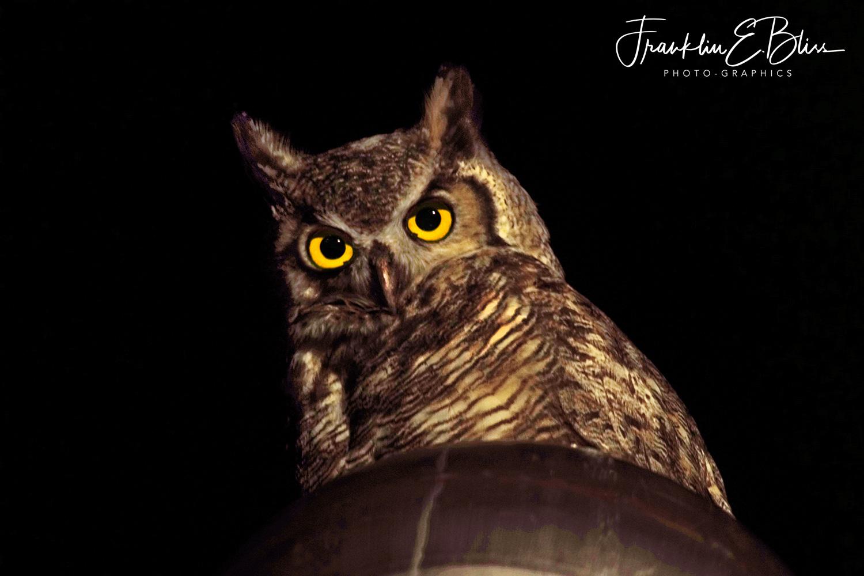 Great Horned Owl Watching my Barnyard Ducks