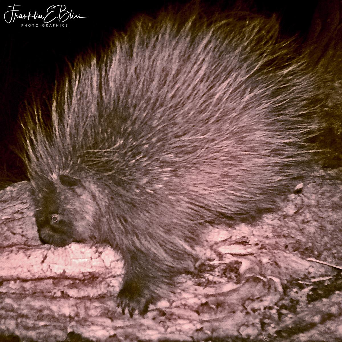 Prickly Porcupine Picture