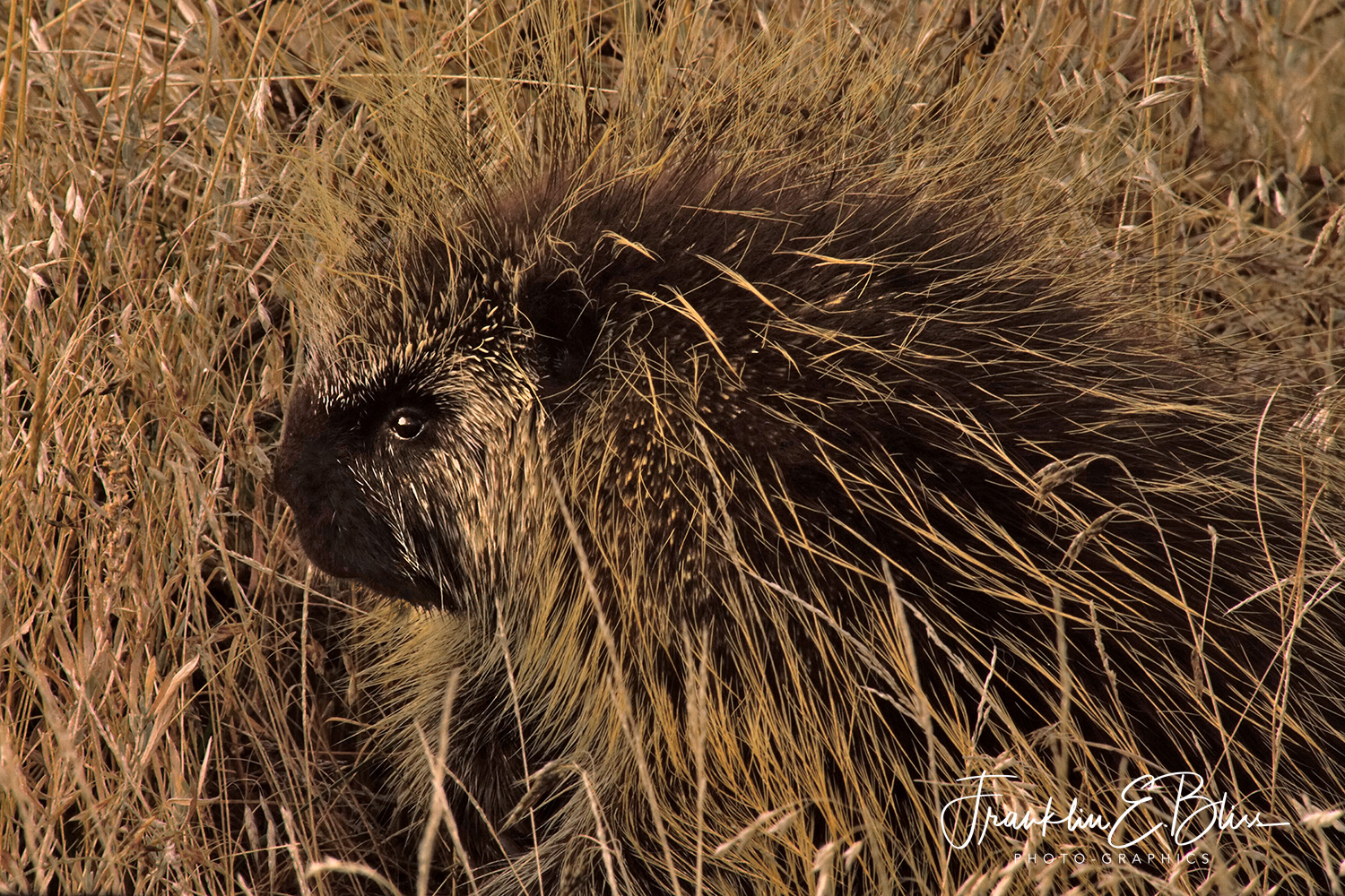 Porcupine in the Grass