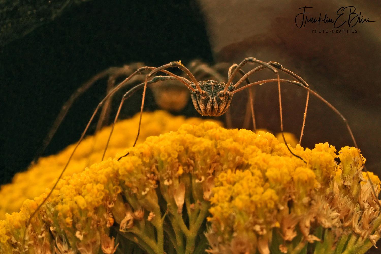 Daddy Long Legs Spider on Yellow Yarrow