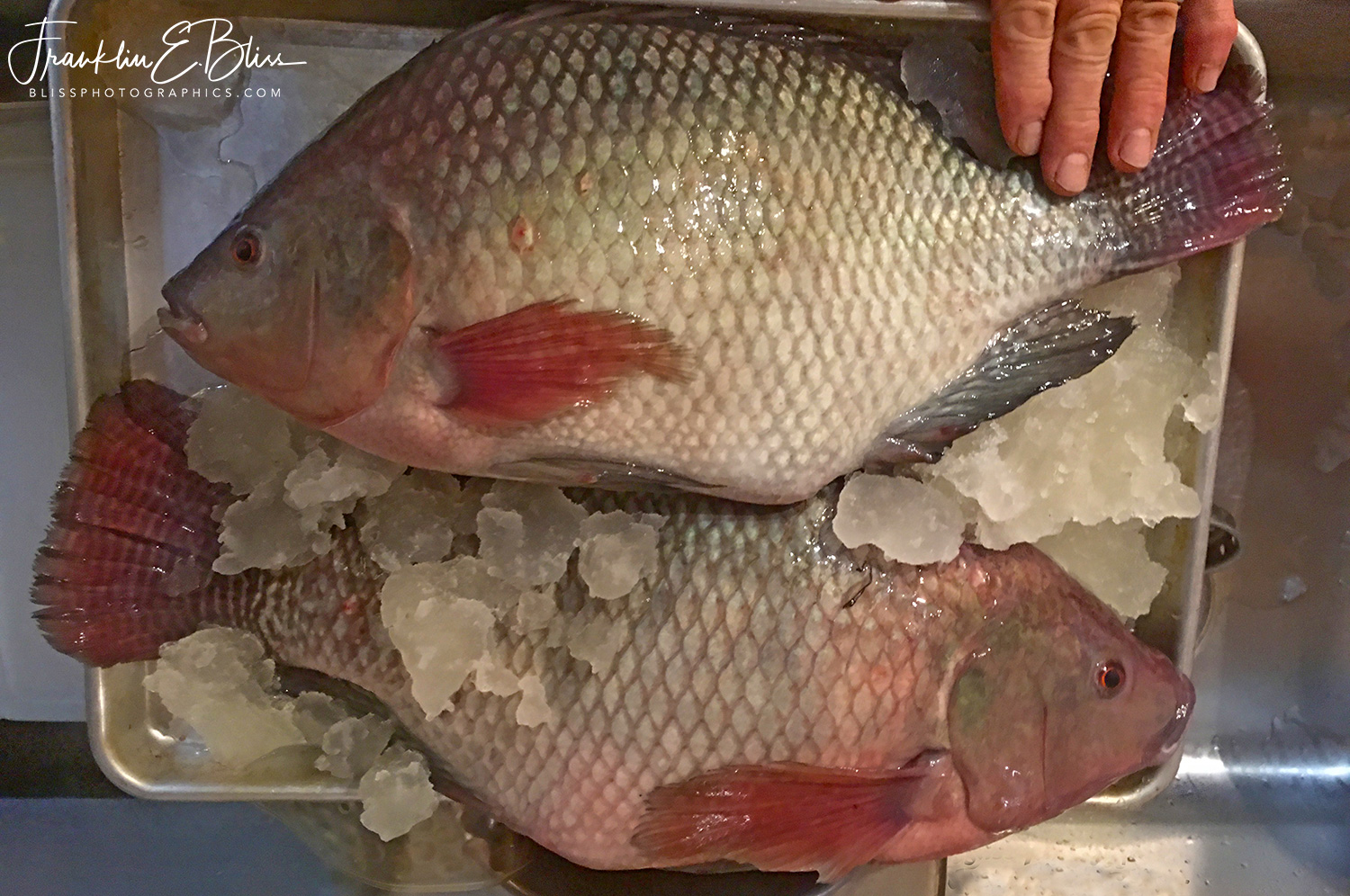 Aquaponic Raised Hybrid (Sterile) Tilapia for Supper