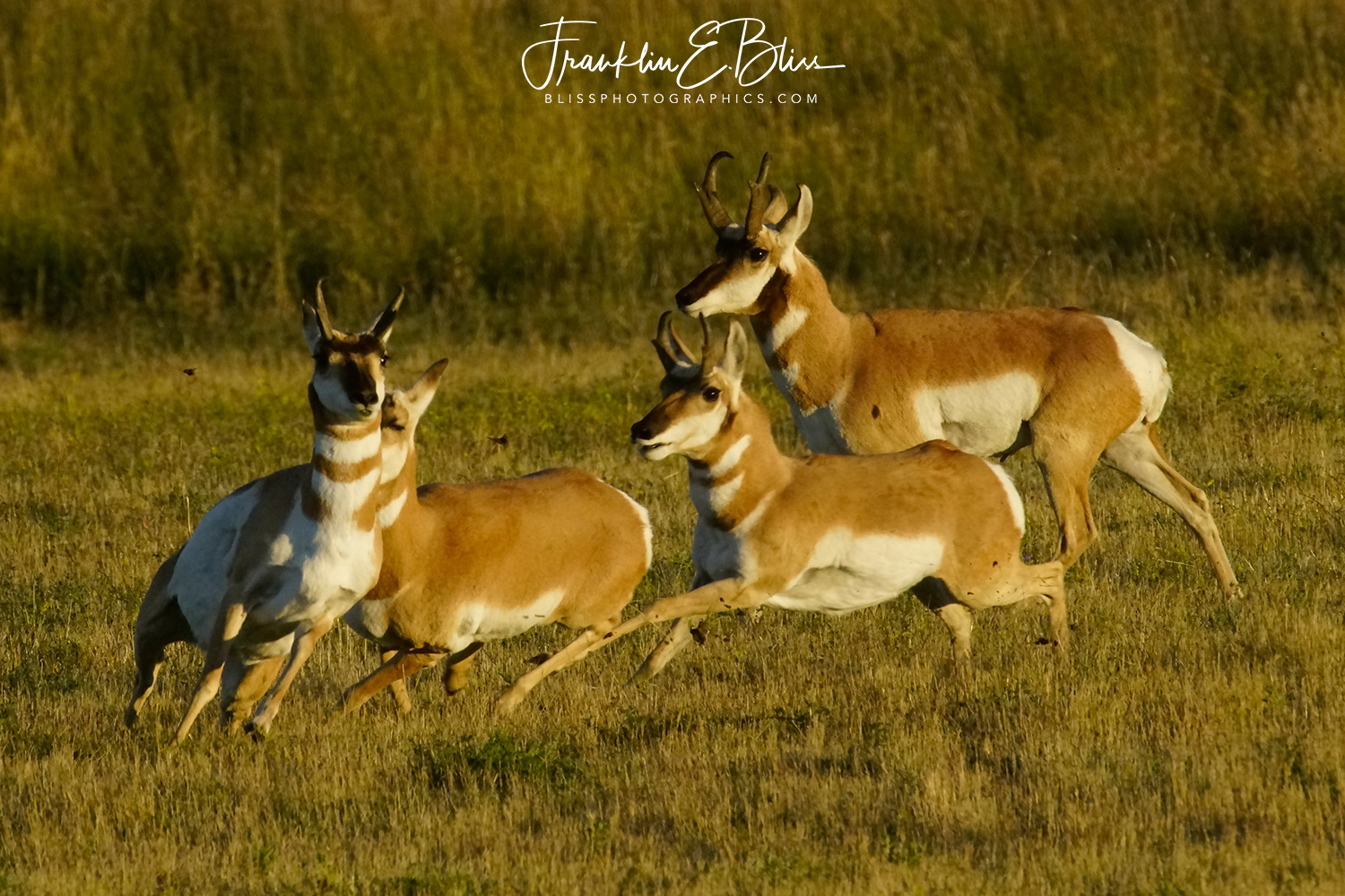 A Chase and Evasion During the Pronghorn Rut