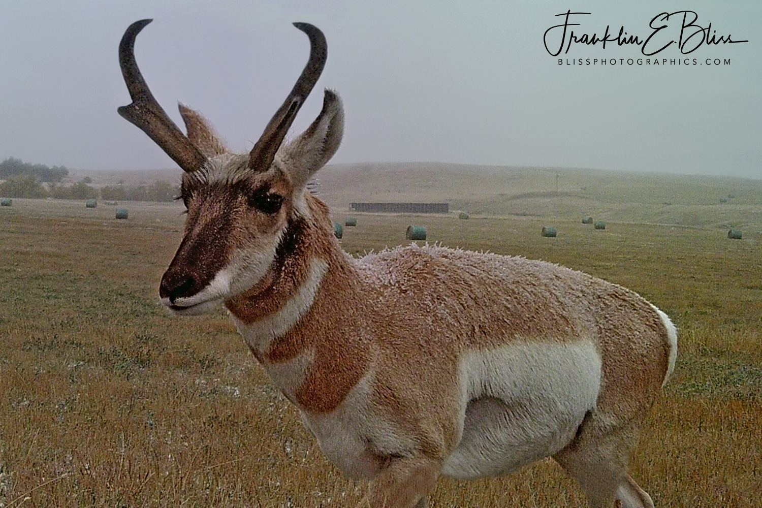 Pronghorn Buck Enjoying a Dusting of Snow