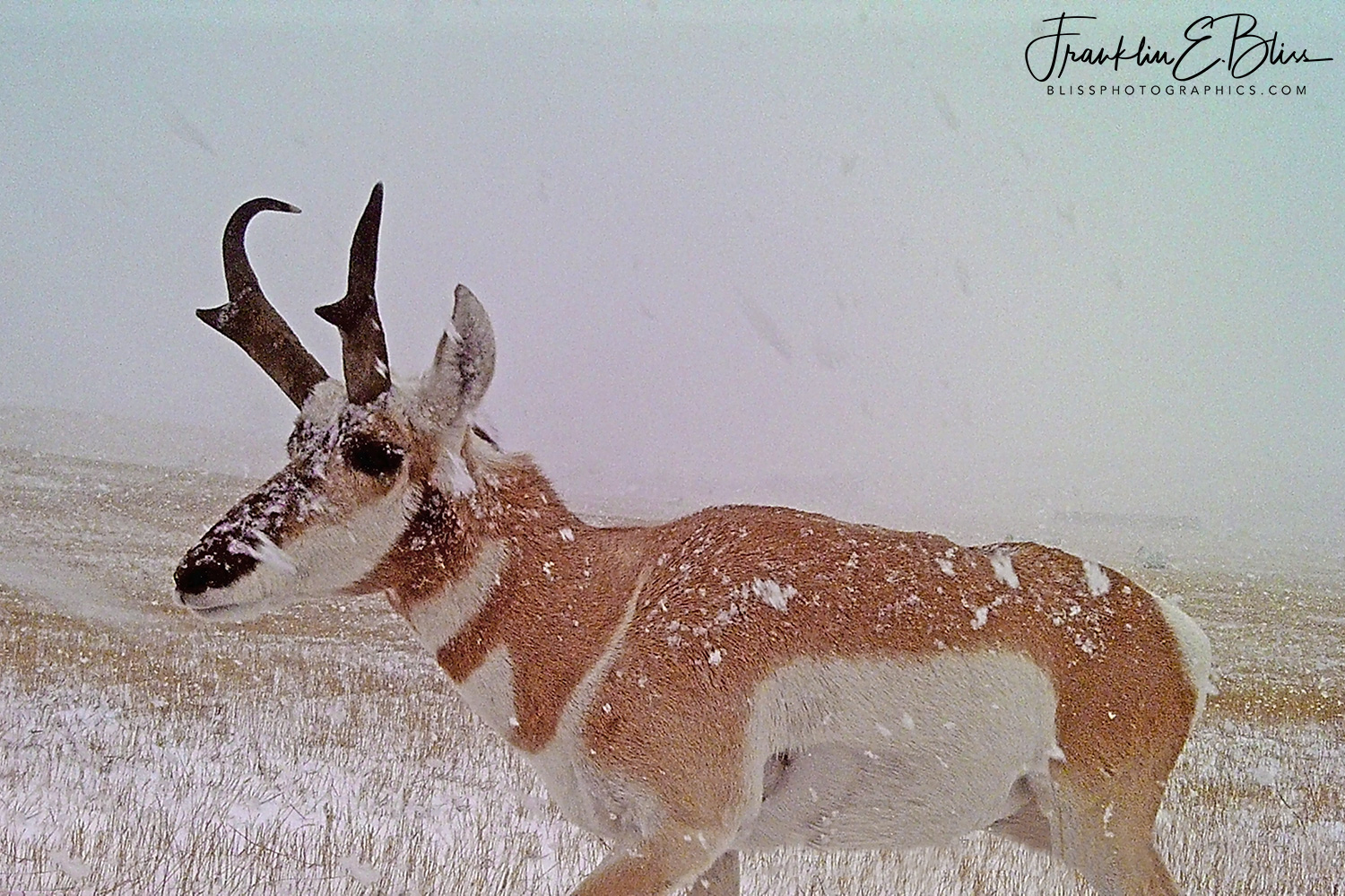 Snow Dumping on Pronghorn Buck
