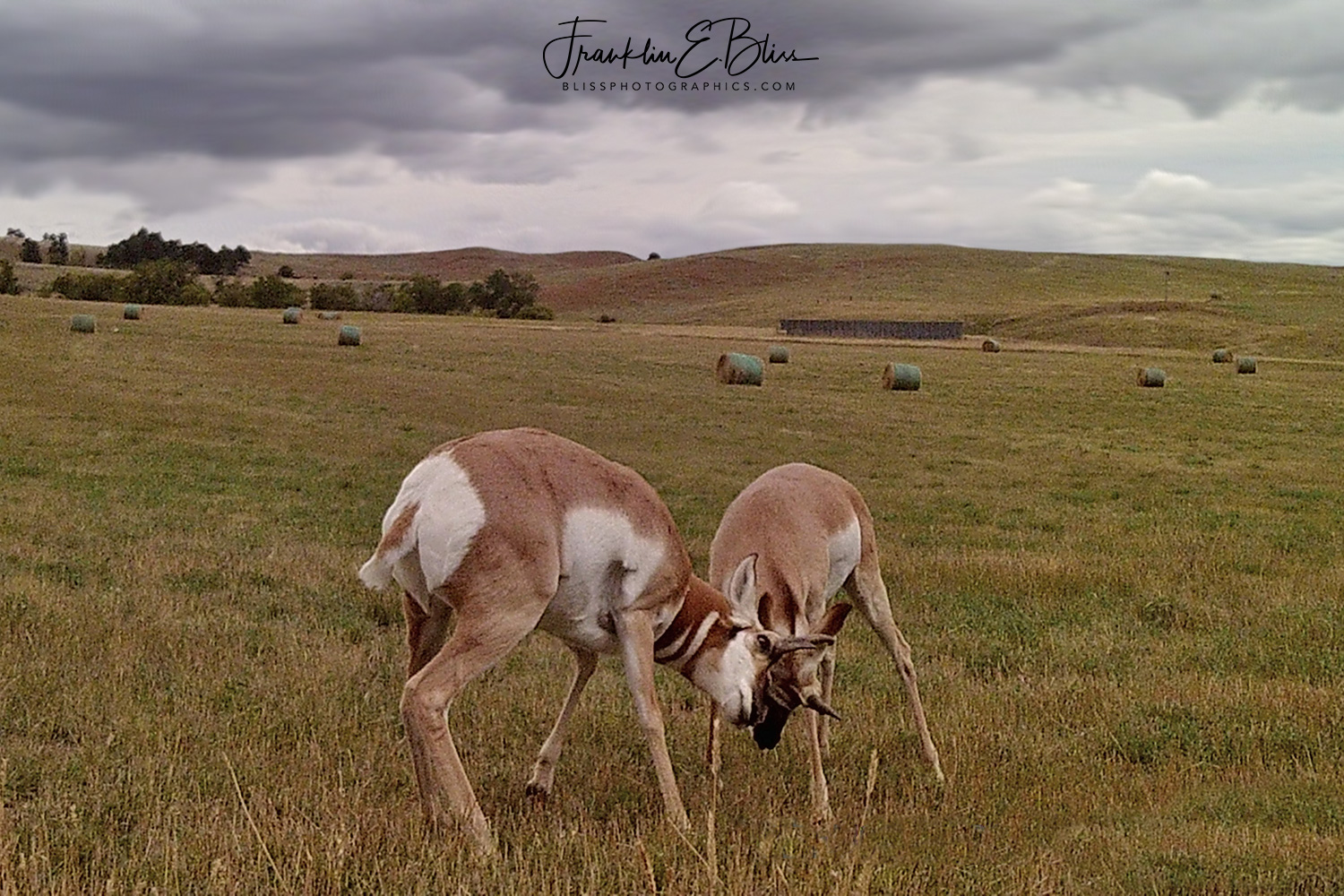 Pronghorn Bucks Rutting in the Backcountry