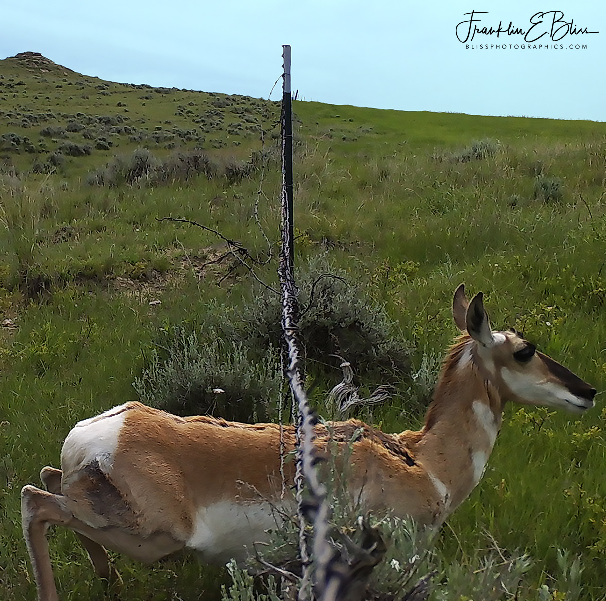 Pronghorn Sliding Under a Fence