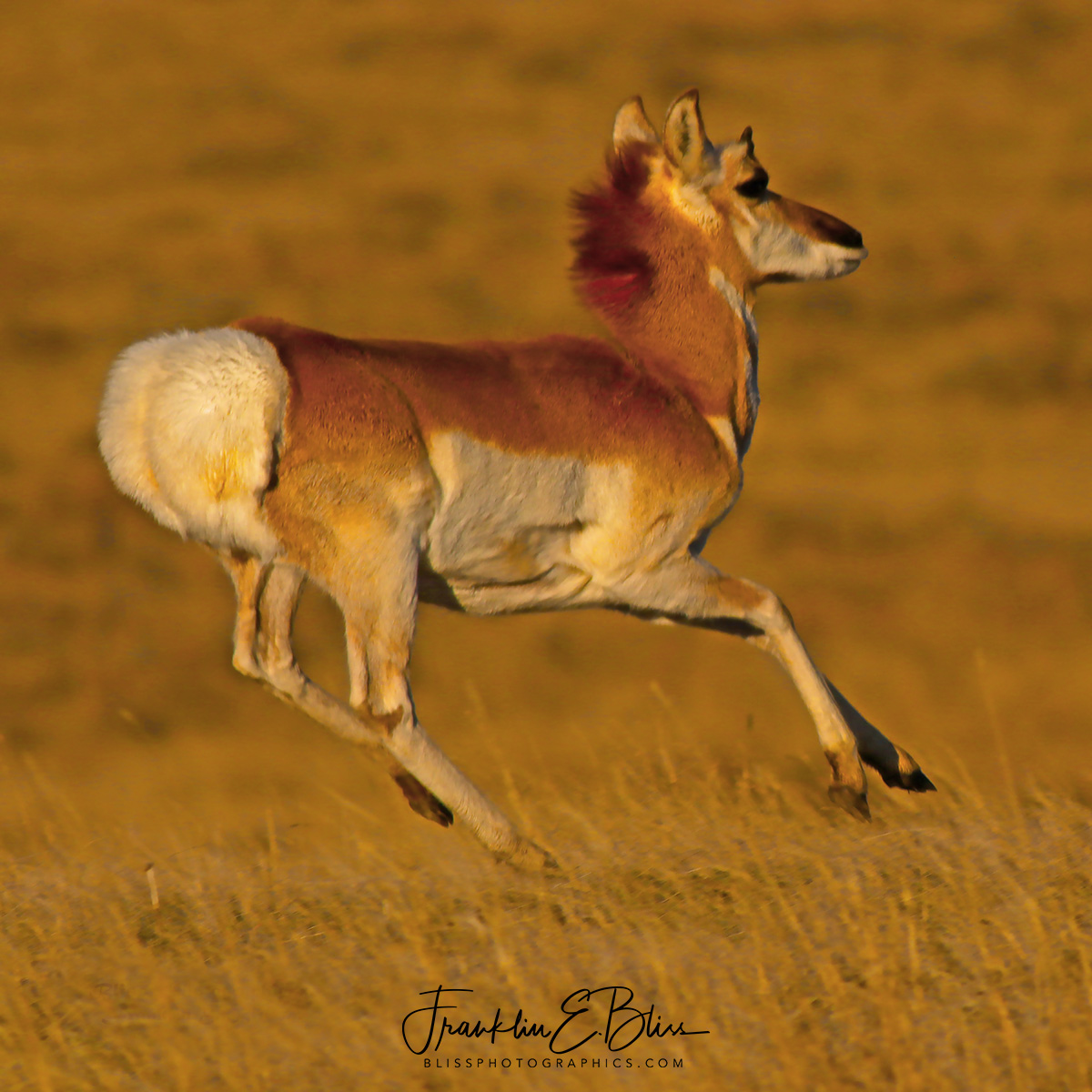 Pronghorn Levitation: Stotting or Pronking