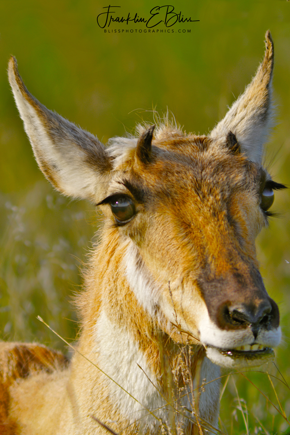 Pronghorn Doe Up Close and Personal