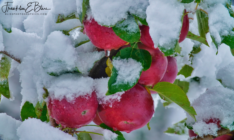 Crisp Cold Apples
