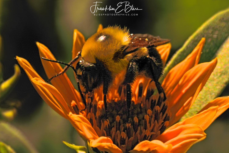 Bumble Bee Pollen Mining