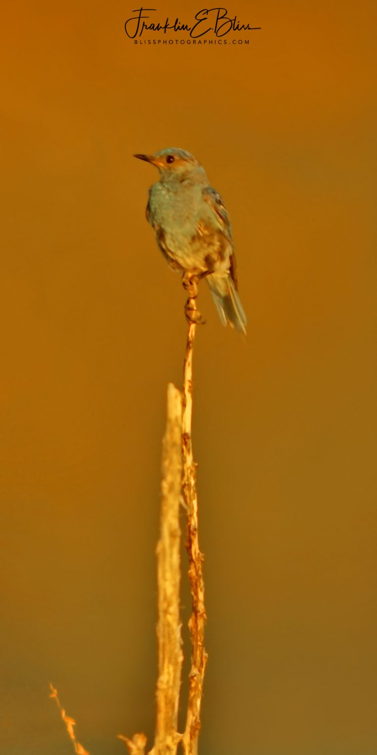 Mountain Blue Bird On a Stick