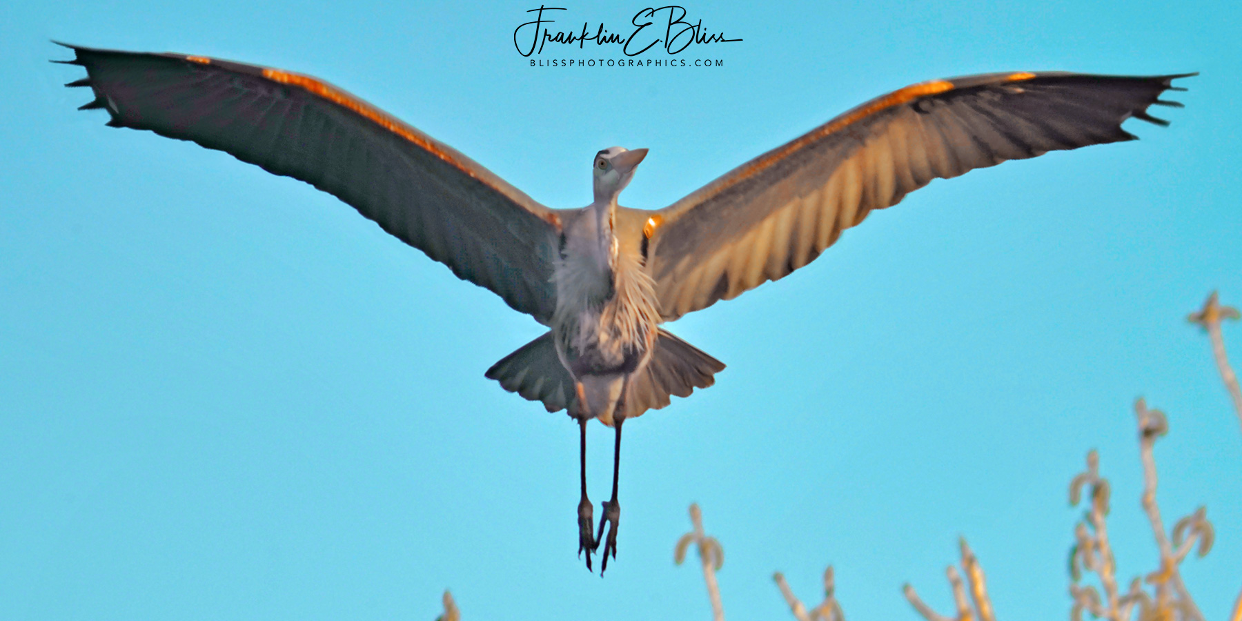Great Blue Heron Landing Head On