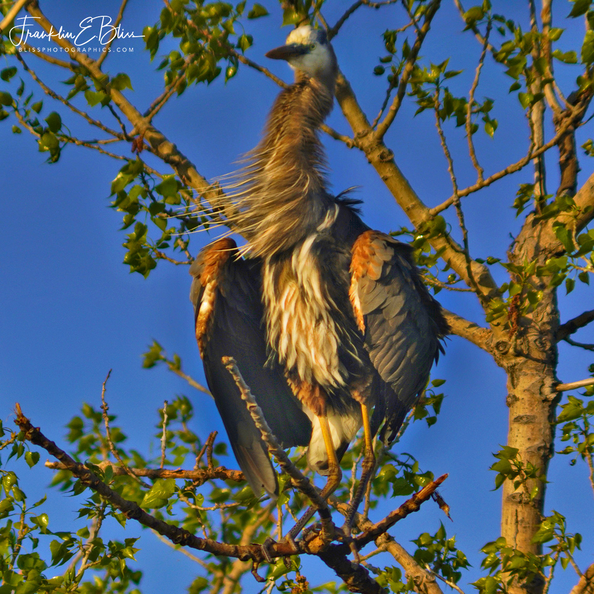 Great Blue Heron 50 Feet Up a CottonWood Tree: Breezy