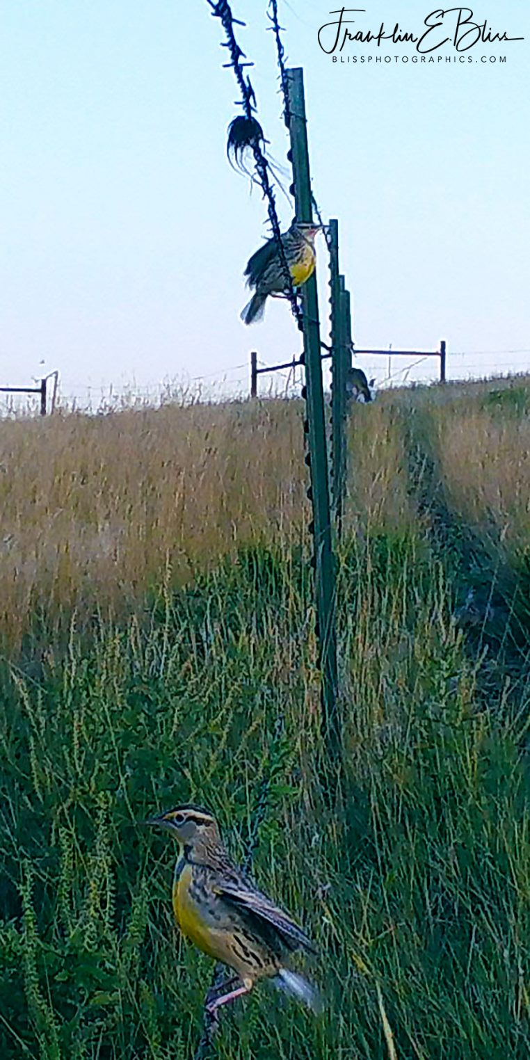 Meadowlarks Down Yonder on the Fence Line