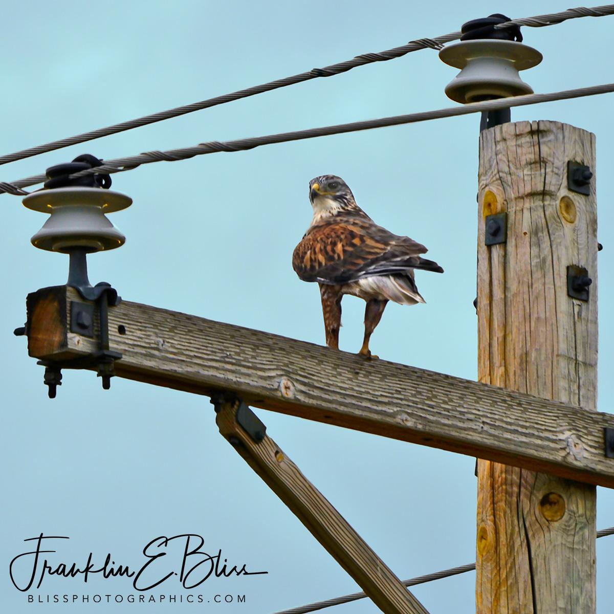 Hawk on an Electric Pole