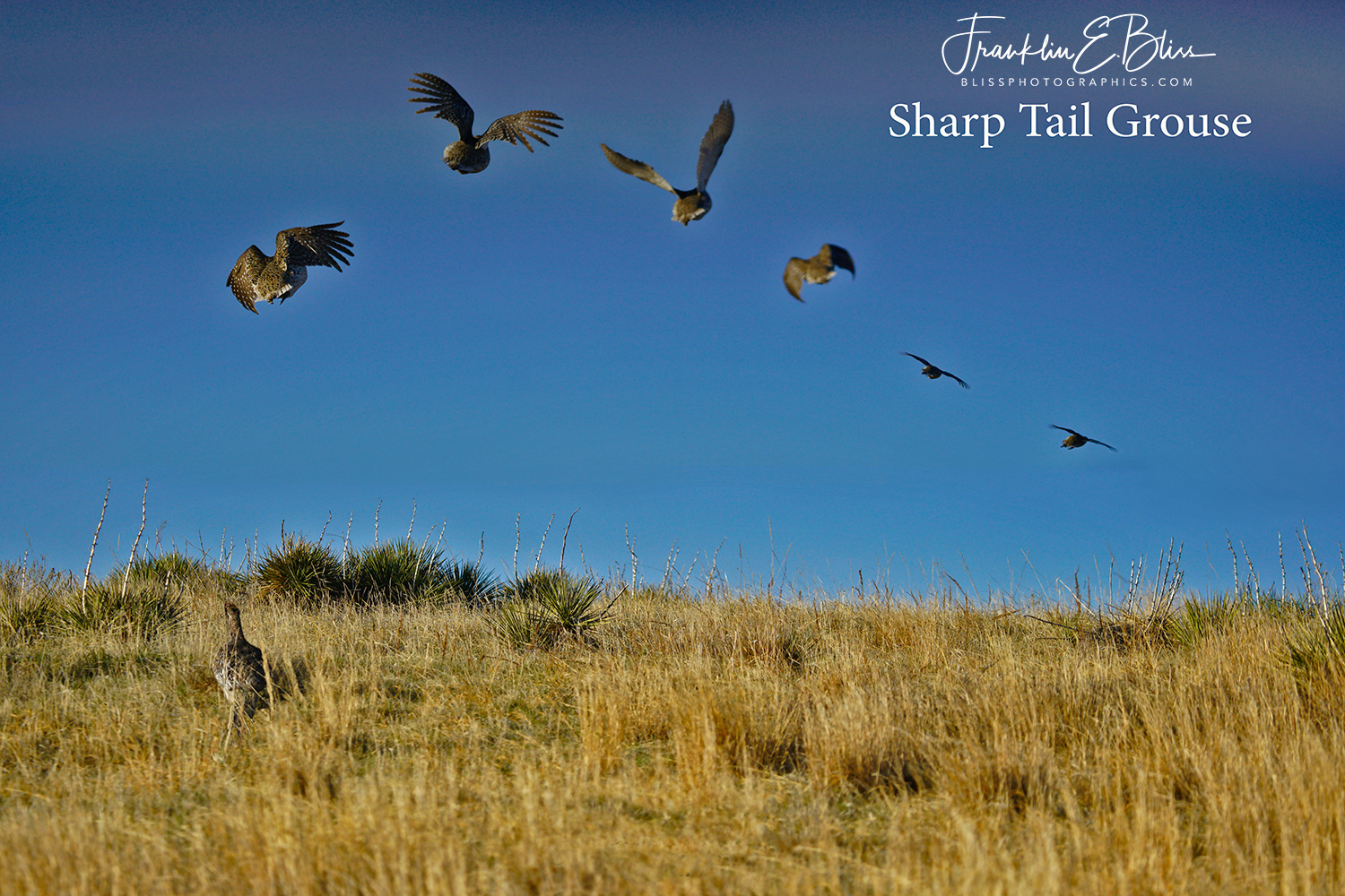 One Sharp Tailed Grouse's Flight Path