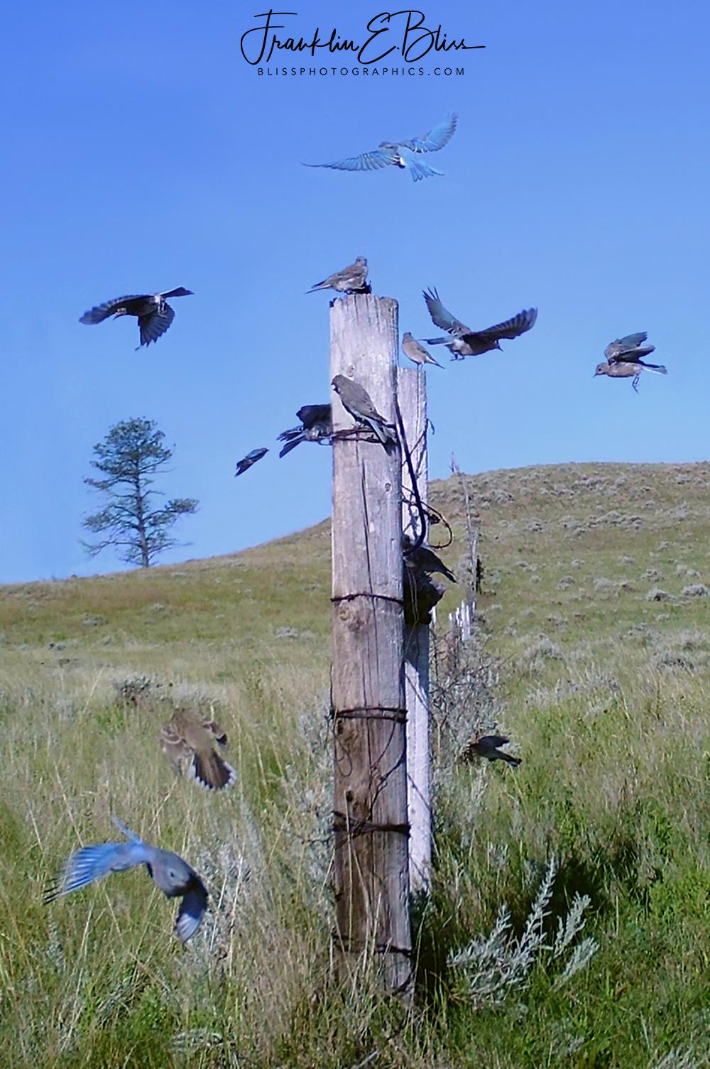 Blue Birds Migration Ready