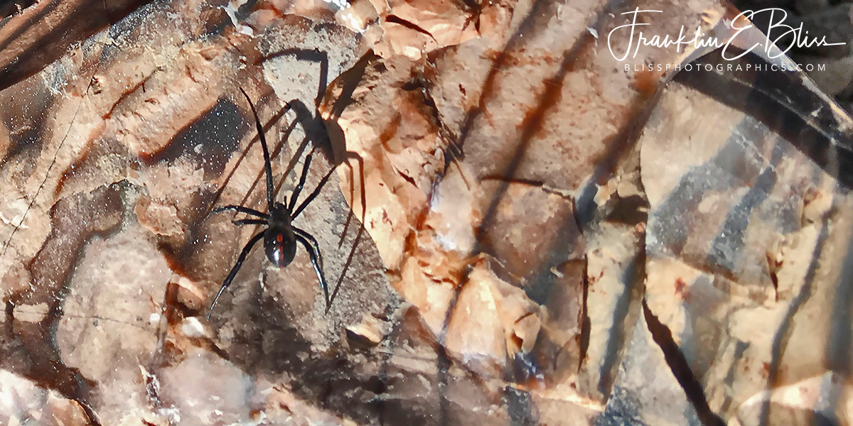 Black Widow Hunting on Tiger Chert
