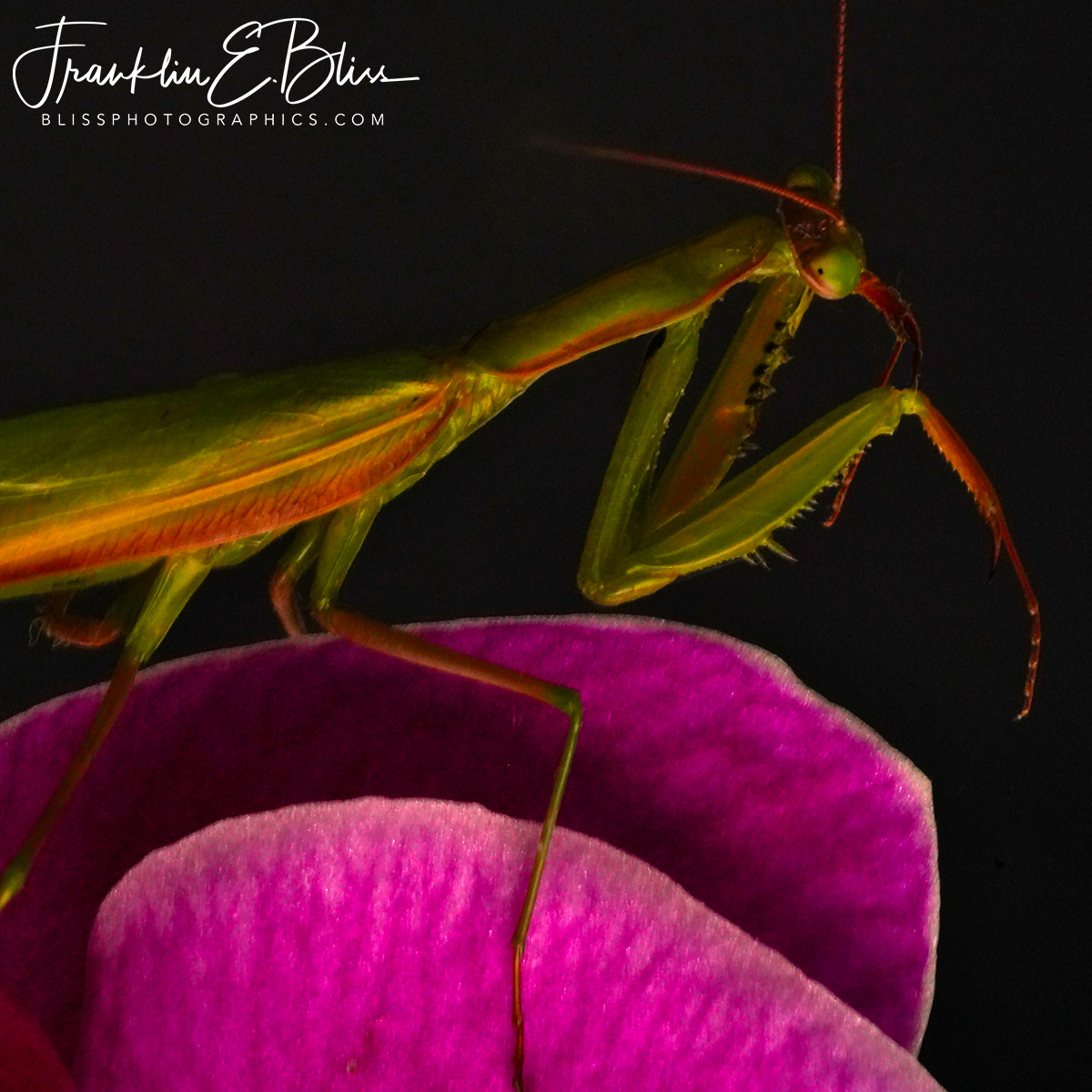 Praying Mantis On An Orchid Hunting