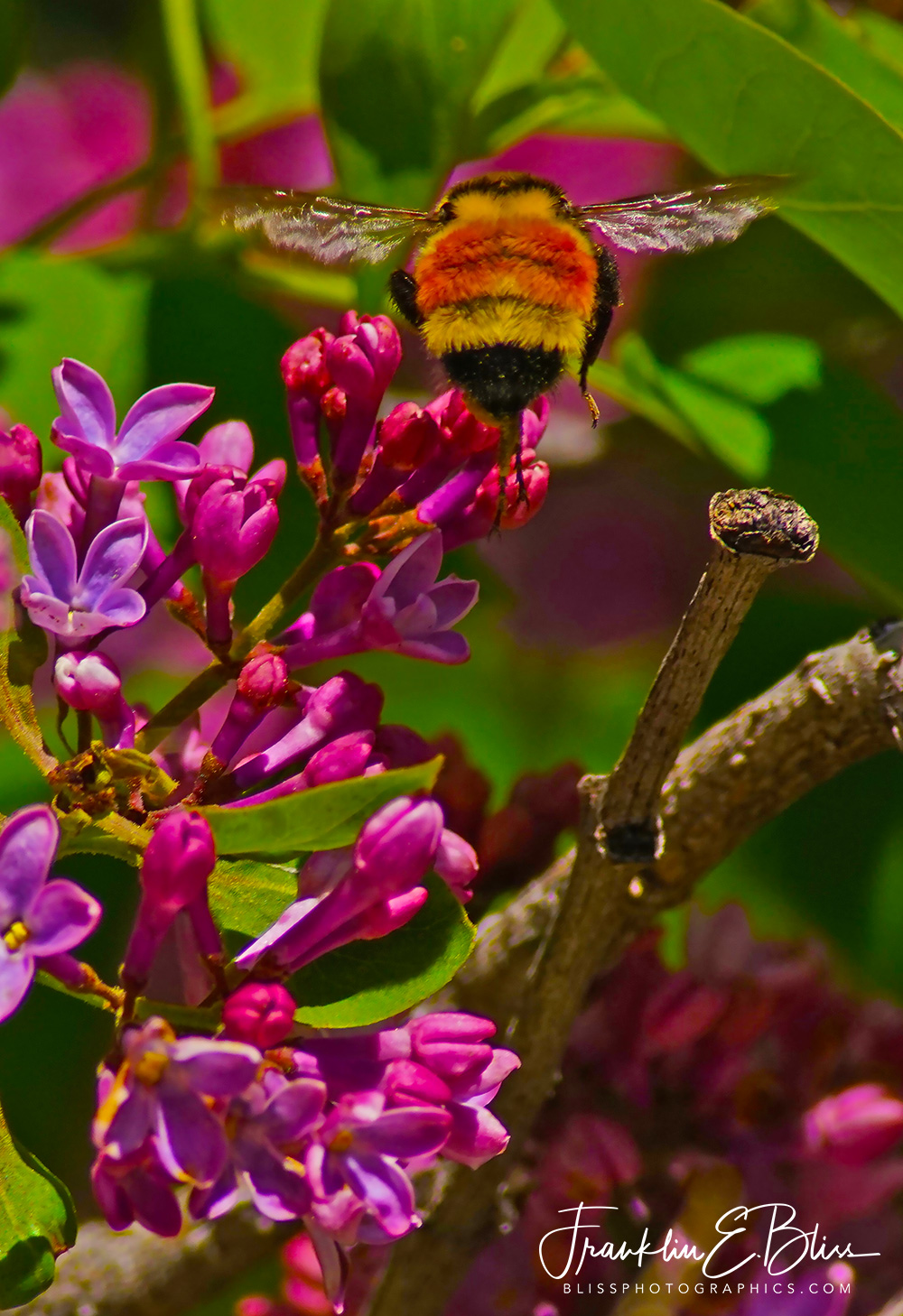 Bumble Bee Gathering from Lilacs in the Spring