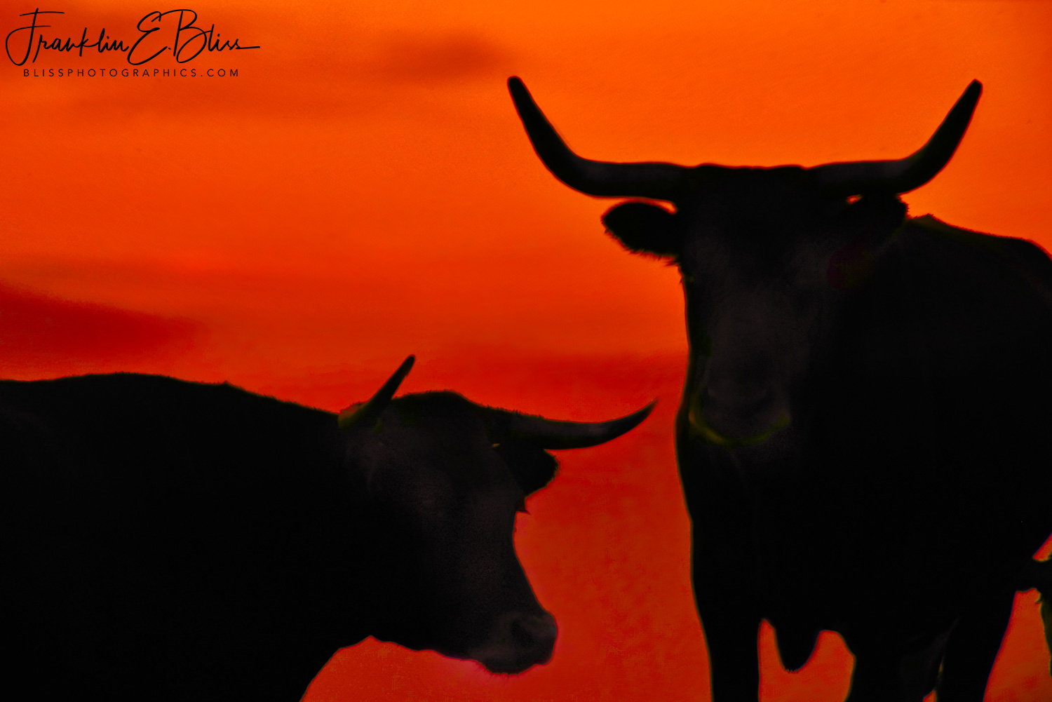 Corriente' Longhorn Twilight