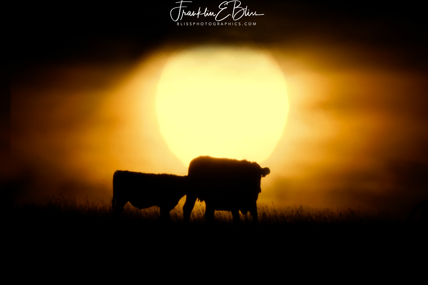 Mother and Calf Nursing at Sunrise