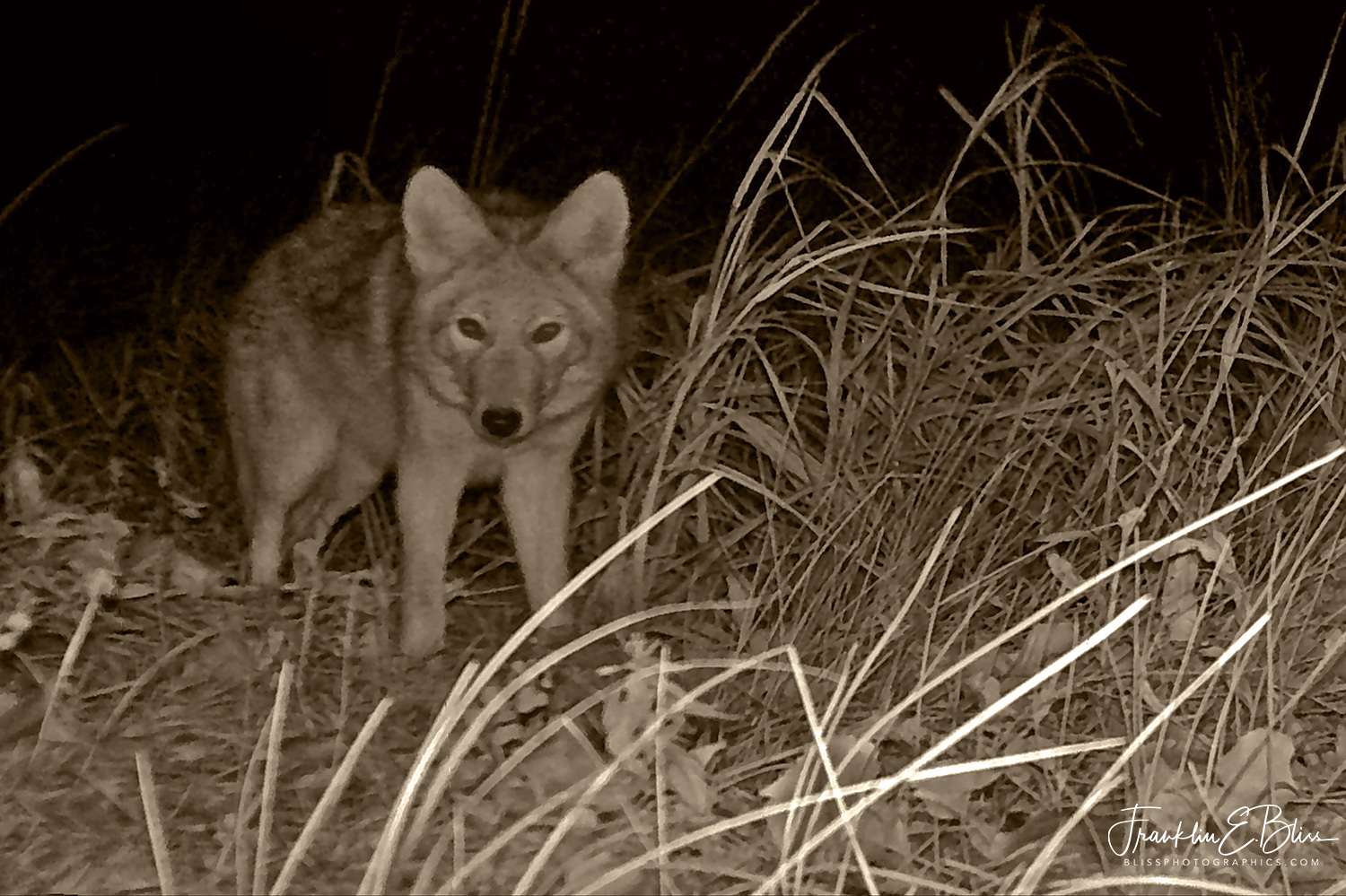 Coyote in Pitch Black Under Infra-Red Light Only