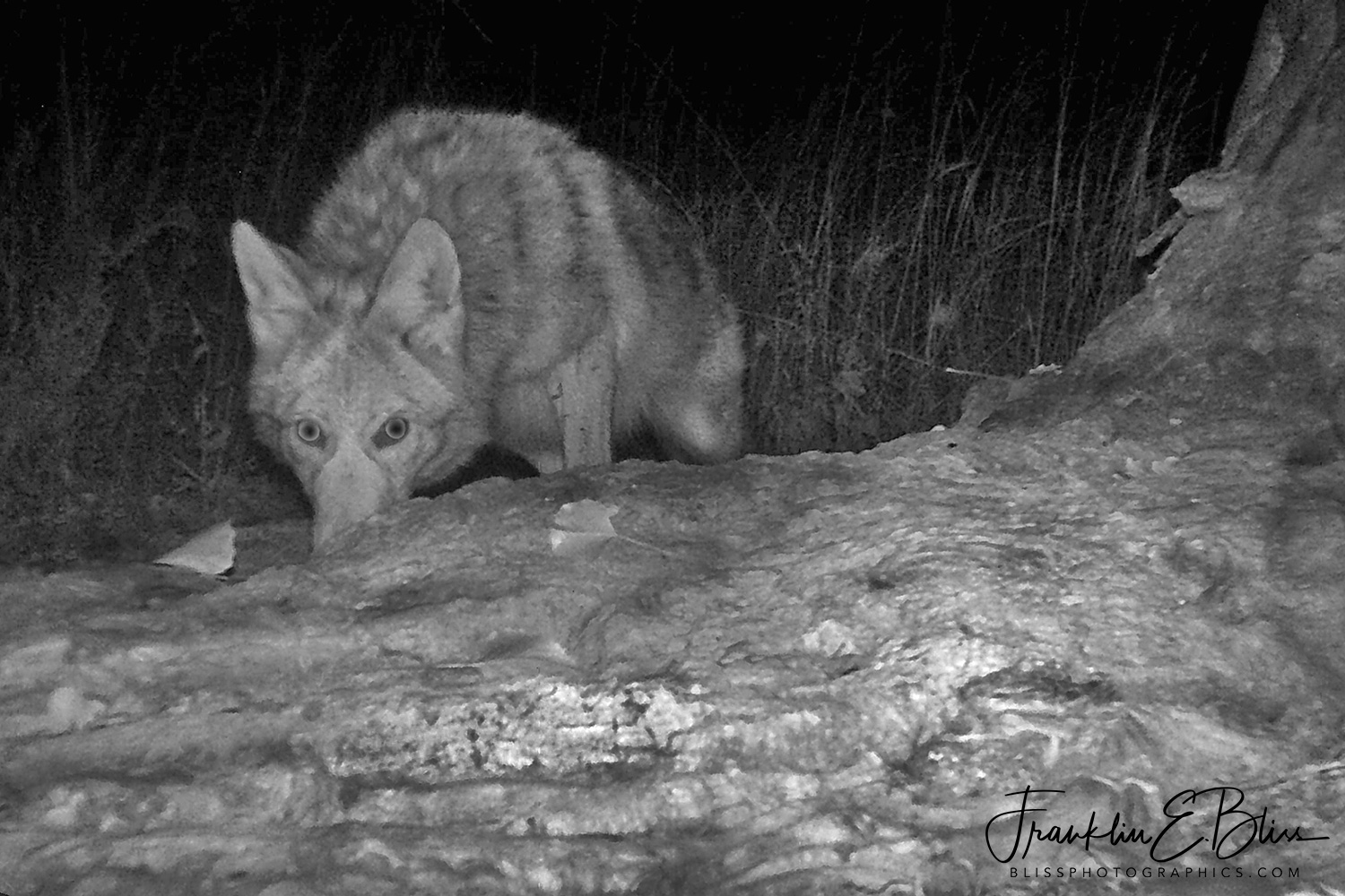 Coyote Hunting for Trick or Treaters
