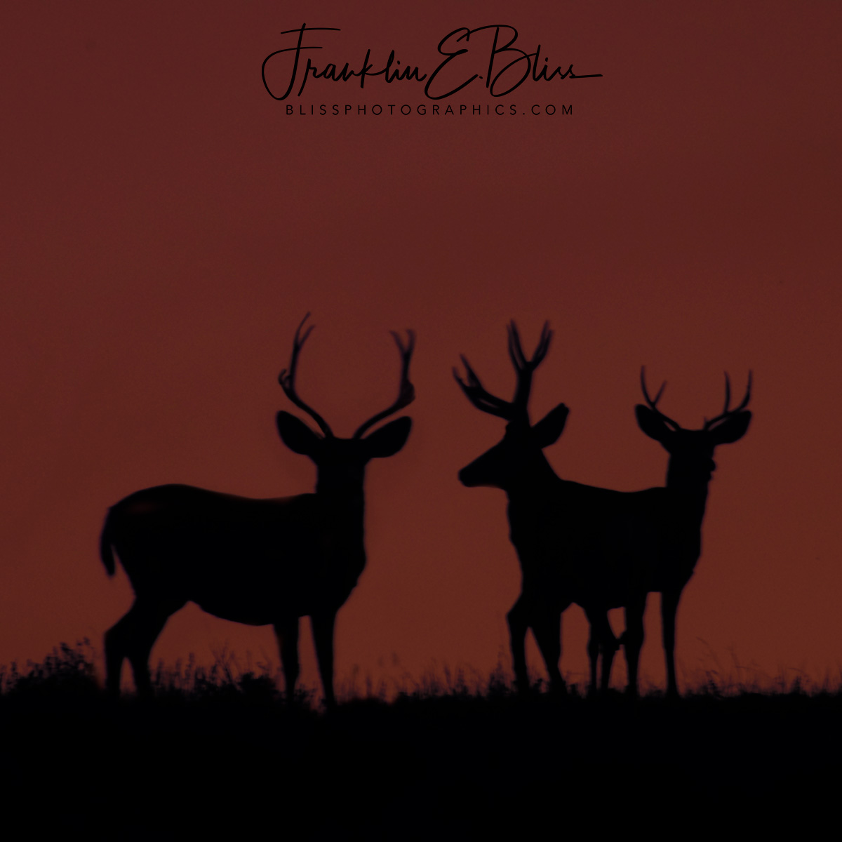 3 Mule Deer Bucks in Twilight Silhouette