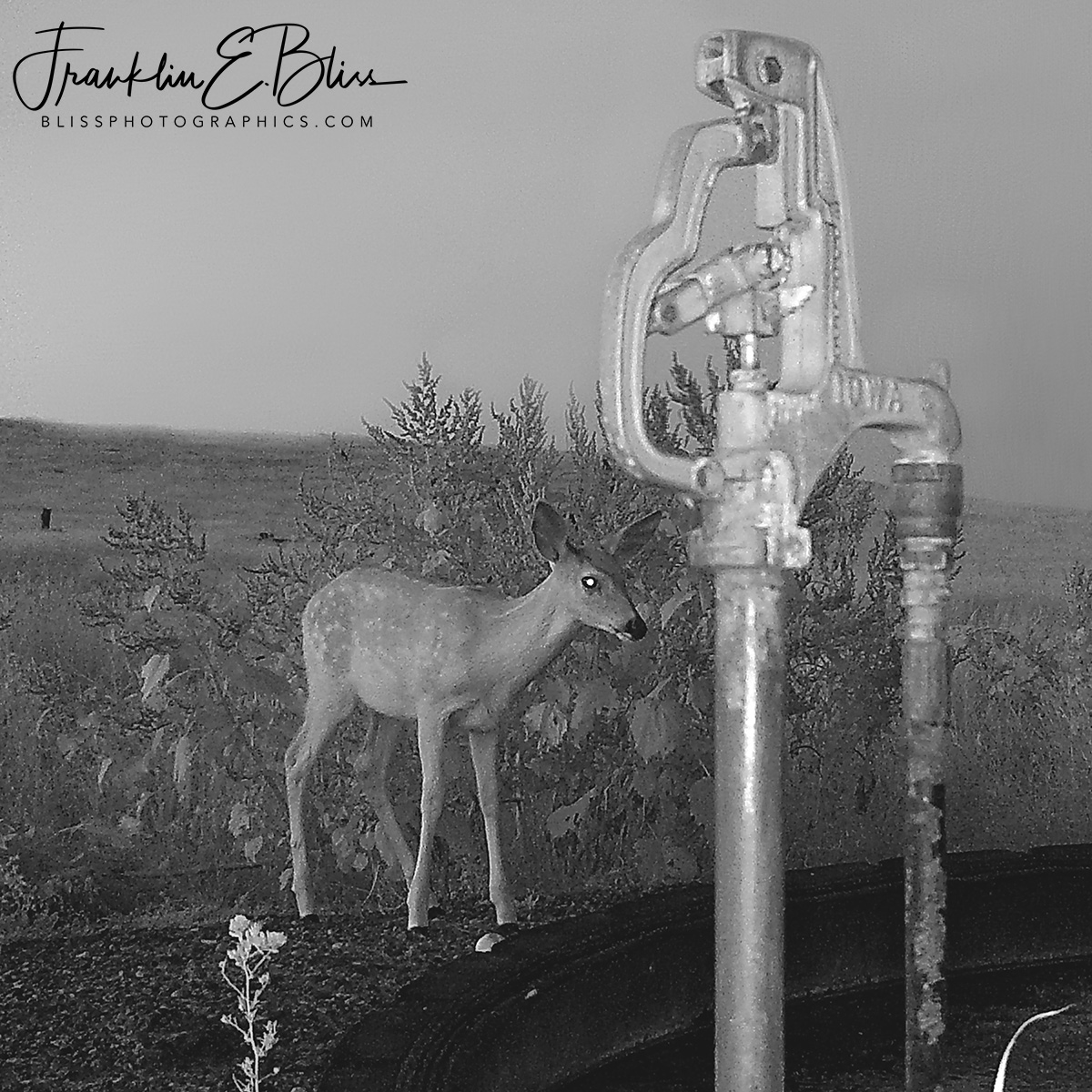 A Fawns Morning Drink at the water hole on a foggy morning