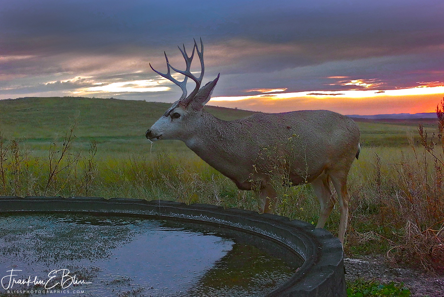 Buck Mule Deer Drinking at Twilight
