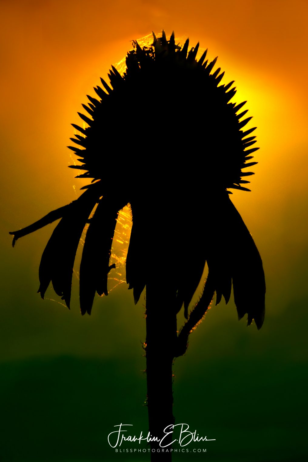 An Echinacea Silhouette From One Moment in Time