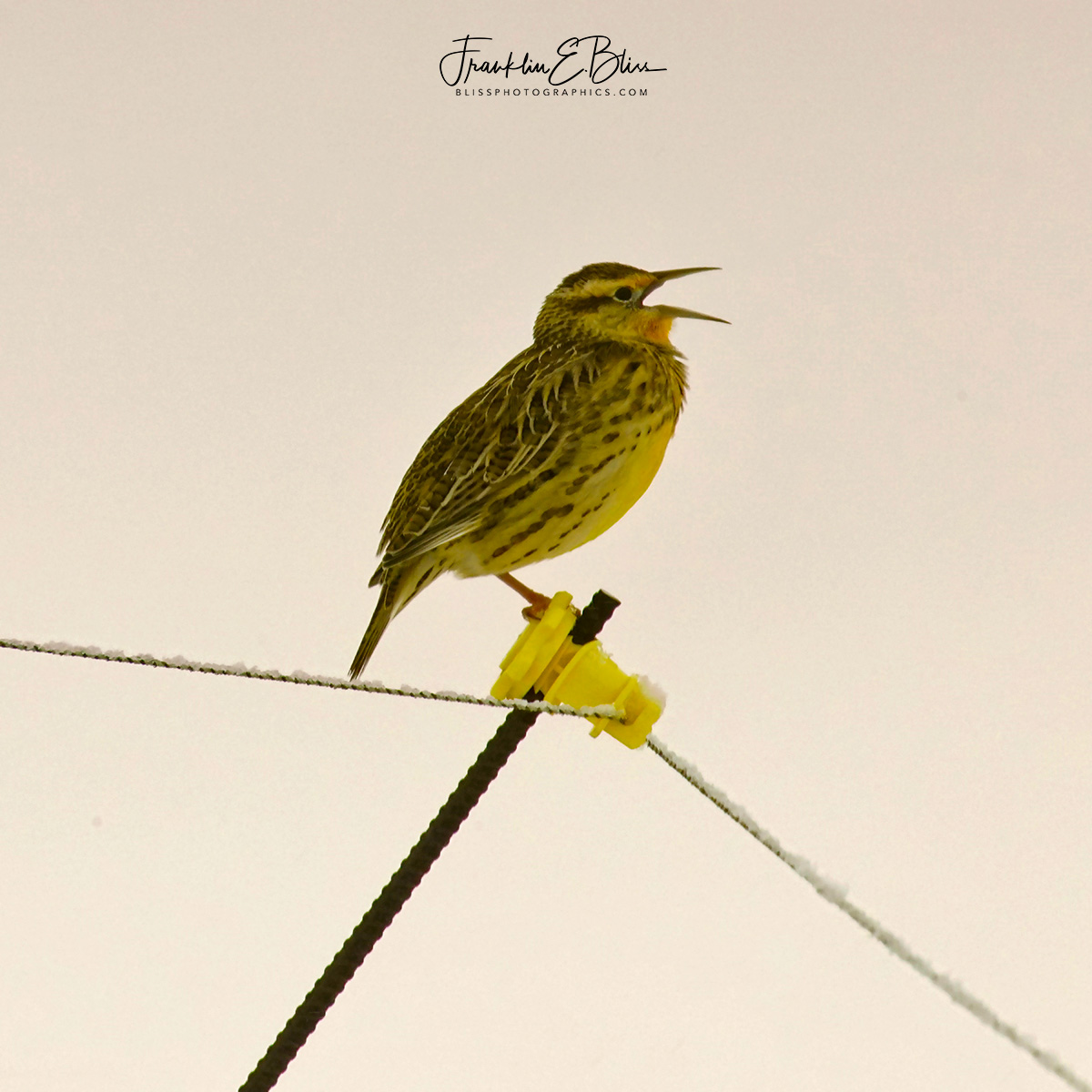 One Legged Meadowlark Singing in the Snow