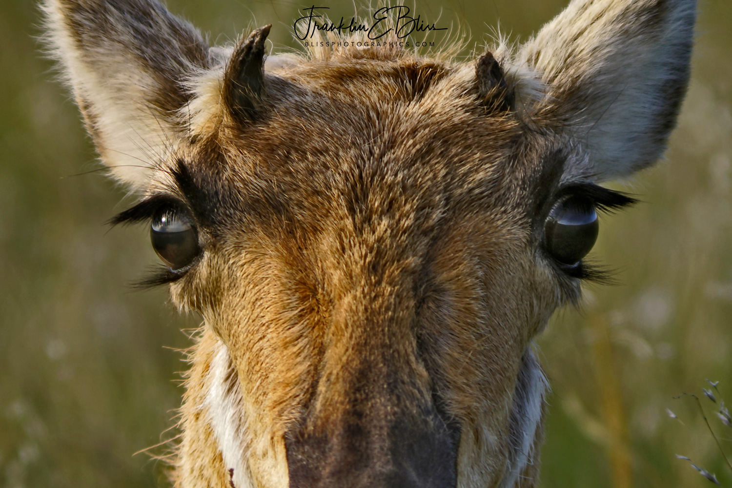 My What Long Eyelashes You Have: Pronghorn Doe